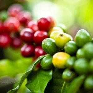 TRIBAL COFFEE: Login to the world of Coffee
